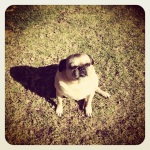 Fugly the pug, so cute!